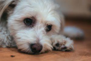 Iso - den kinesiska nakenhunden med väldigt myket hår - Ludwig Sörmlind