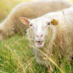 Roadtrip 2017 - Nyfiket får / Roadtrip in Sweden 2017 - A curious sheep